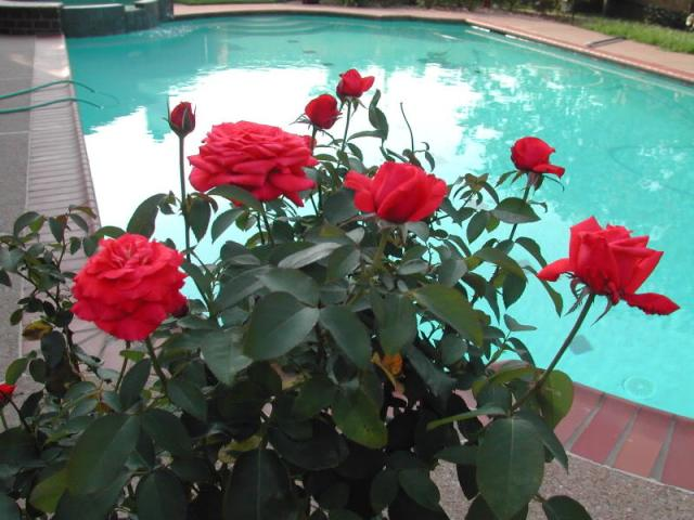 Tanaman hias bunga mawar Chrysler Imperial Roses