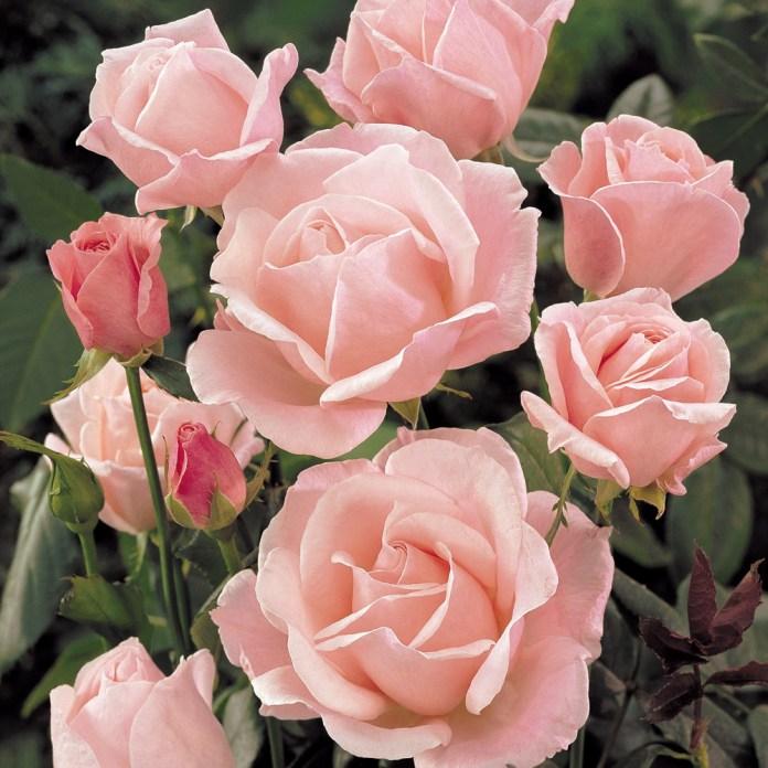 Tanaman hias bunga mawar Queen Elizabeth