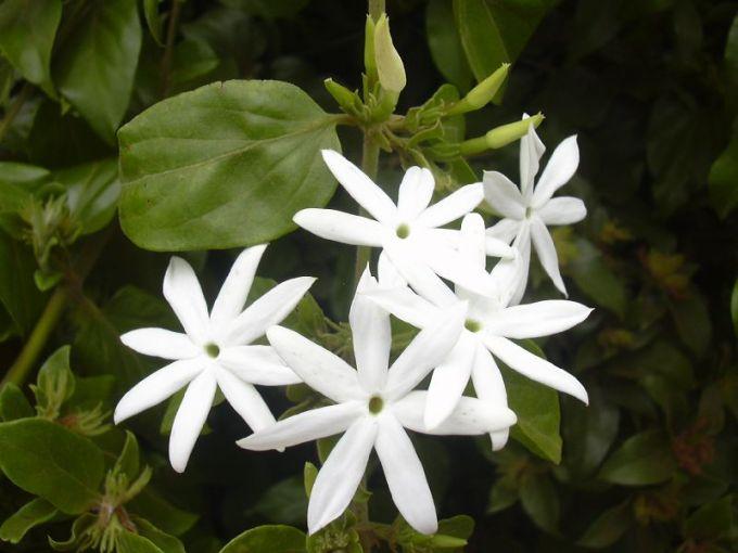 Tanaman hias bunga melati bintang