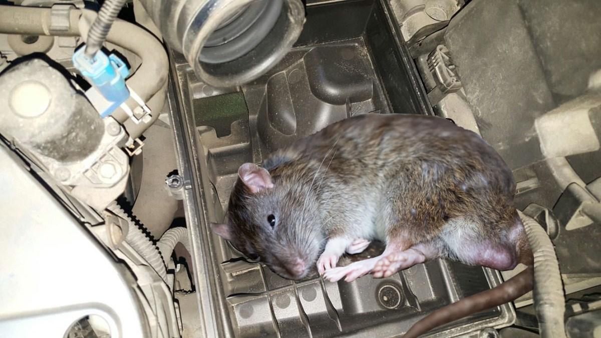 Curiozitatea a omorât șobolanul