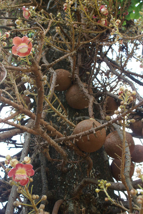 blog voyage whv australie darwin backpacker expat tree insolite arbre canon ball boulet de canon