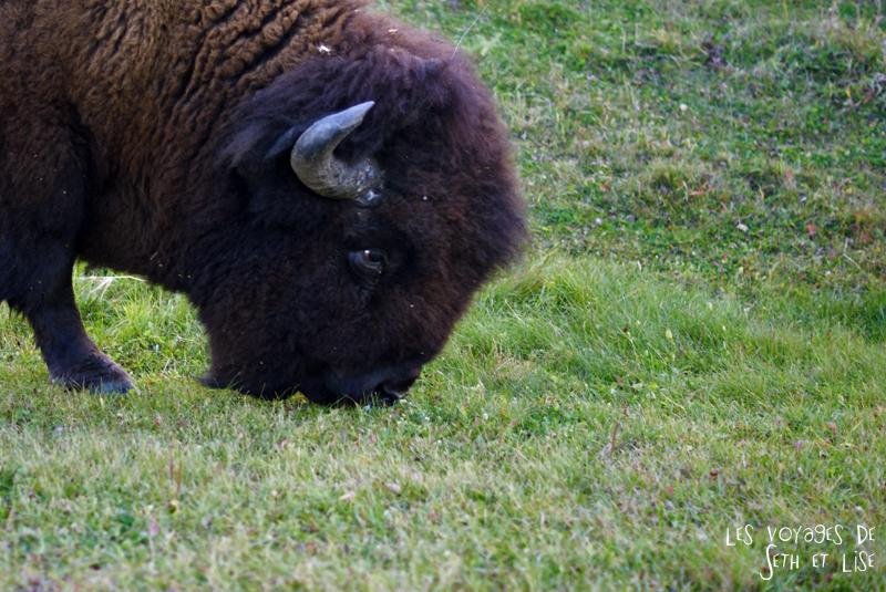 blog voyage canada pvt photo elk island alberta bison head cute