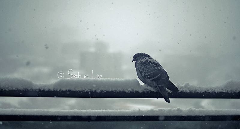 blog voyage bd canada pvt seth lise hiver pigeon bird cold froid