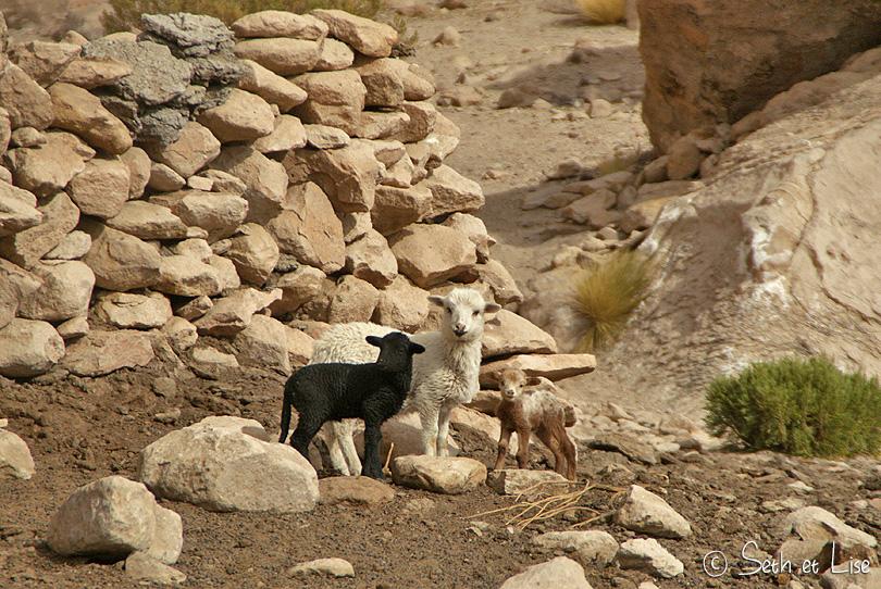 cute lambs