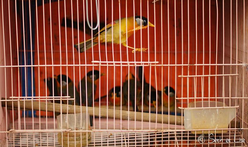 oiseaux cage vietnam