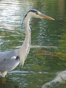 Heron in Ritsurin Park