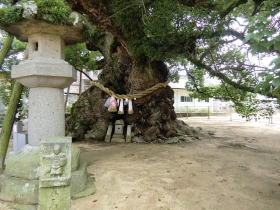 Zentsuji - Sacred Tree - Okusu