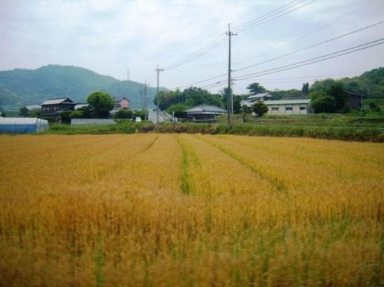 Kagawa Wheat