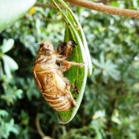 Cicada Season has started in Japan