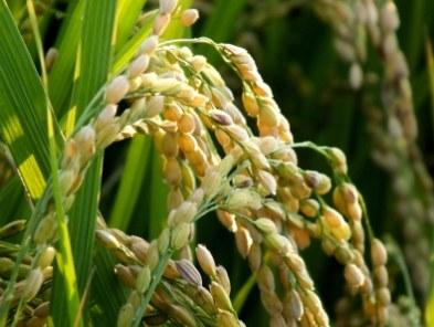 Ripening Rice 9