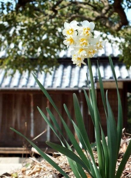 Daffodils on  Shamijima