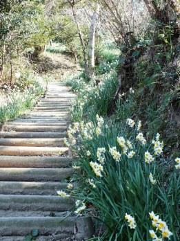Ogijima Daffodils - 2