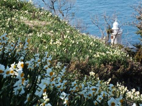 Ogijima Daffodils - 4