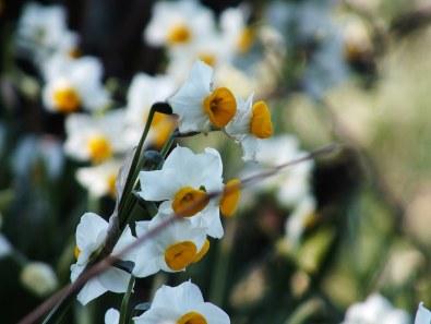 Ogijima Daffodils - 5