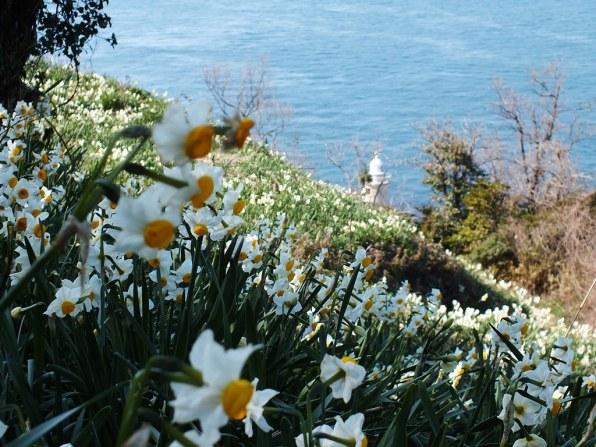 Ogijima Daffodils - 6