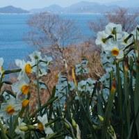 Ogijima's Daffodils