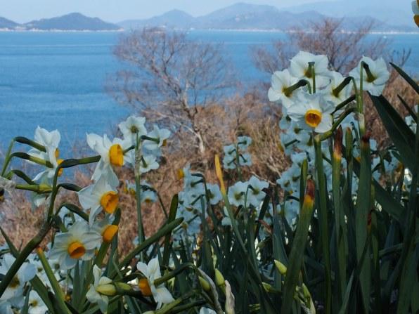 Ogijima Daffodils - 8