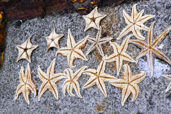 Starfish - Ibukijima