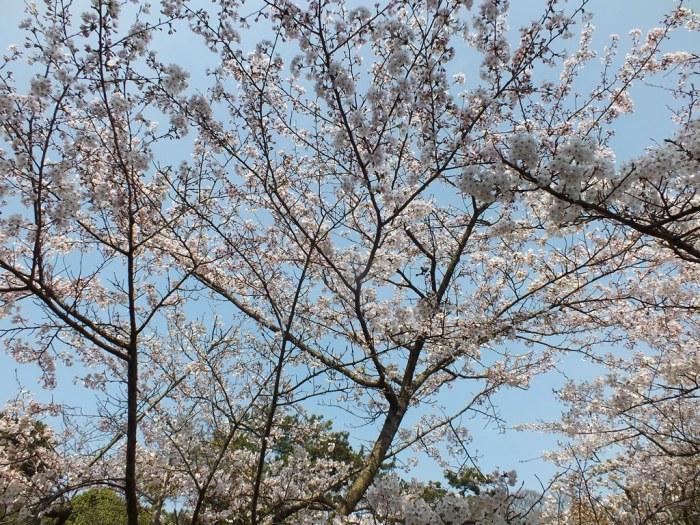 Cherry Blossoms in Ritsurin Garden - 2015 - 7