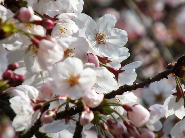 Cherry Blossoms in Ritsurin Garden - 2015 - 9