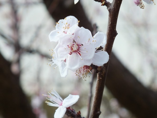 42 - First cherry blossoms of the year