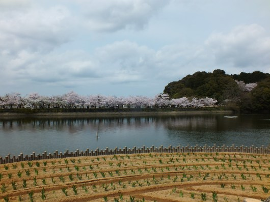 Cherry Blossoms at Kikaku Park 2017 - 1
