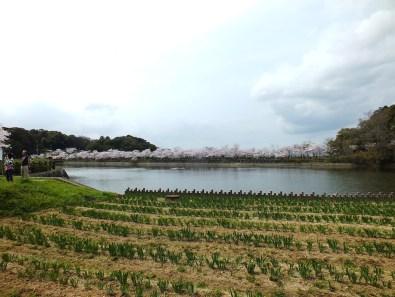 Cherry Blossoms at Kikaku Park 2017 - 10