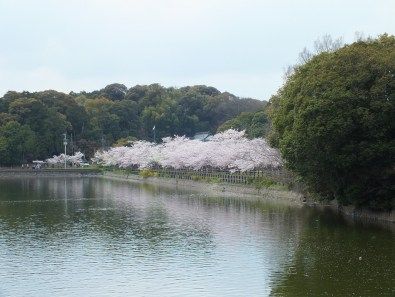 Cherry Blossoms at Kikaku Park 2017 - 13