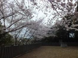 Cherry Blossoms at Kikaku Park 2017 - 16