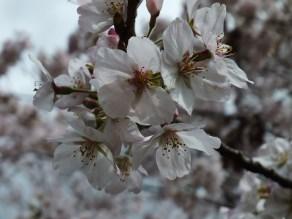 Cherry Blossoms at Kikaku Park 2017 - 20