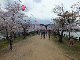 Cherry Blossoms at Kikaku Park 2017 - 22
