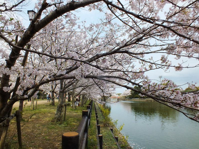 Cherry Blossoms at Kikaku Park 2017 - 24