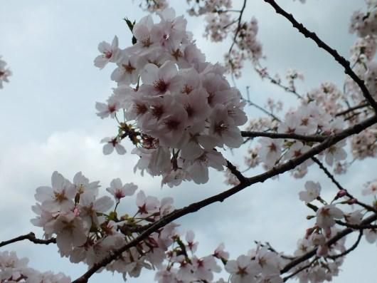 Cherry Blossoms at Kikaku Park 2017 - 9
