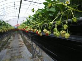 Picking and Eating Strawberries at Ichigoya Skyfarm in Takamatsu - 5