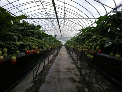 Picking and Eating Strawberries at Ichigoya Skyfarm in Takamatsu - 6
