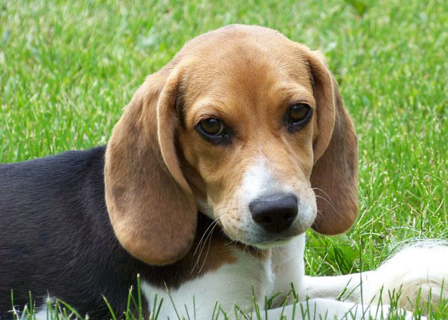 800px-Cute_beagle_puppy_lilly