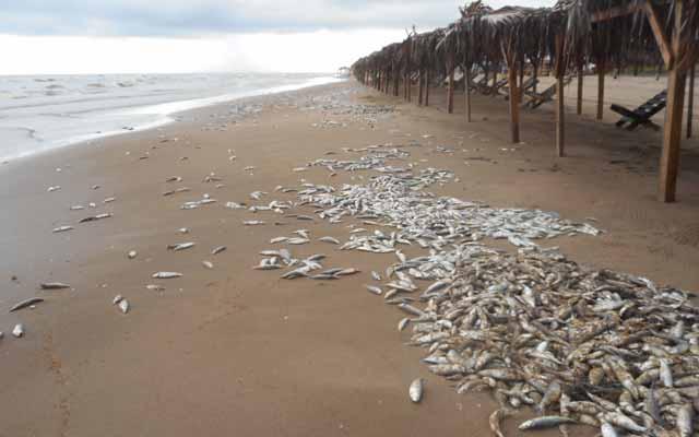 Marea roja mata a más de cuatro toneladas de peces en Tamaulipas