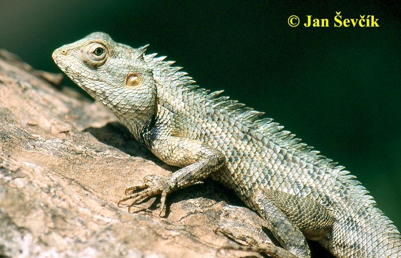 lepoještěr pestrý changeable lizard blutsaugeragame calotes