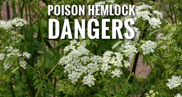 Poison Hemlock Can Be Dangerous to Humans and Animals