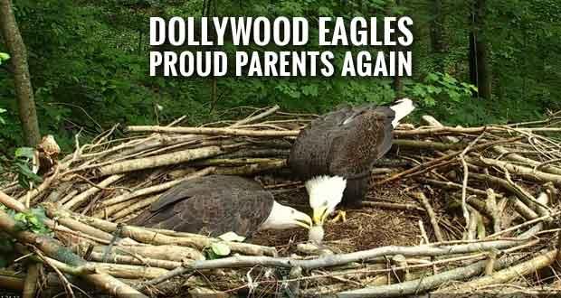 American Eagle Foundation Bald Eagles Raise their 30th Eaglet