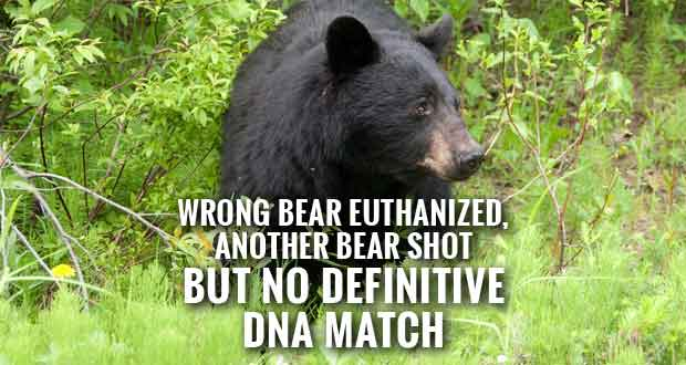 Bear Attack DNA Shows Park Euthanized Wrong Bear, inconclusive on other bear shot