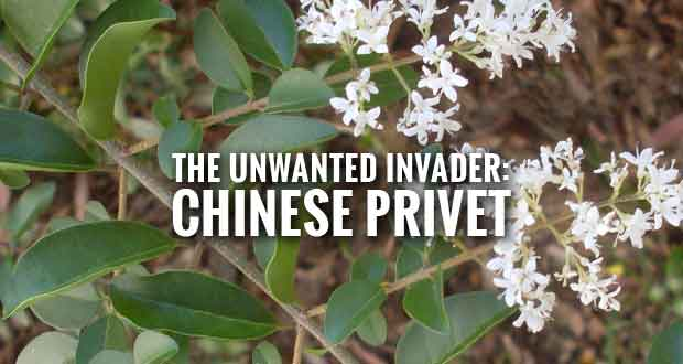 Invasive Chinese Privet Threatens Pastures and Woods