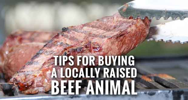 How Much Meat Should You Expect from a Beef Animal Purchase?