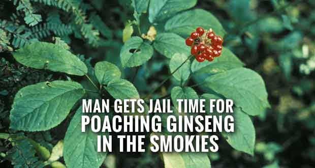 Man Sentenced for Poaching Over 500 Ginseng Roots from Great Smoky Mountains National Park