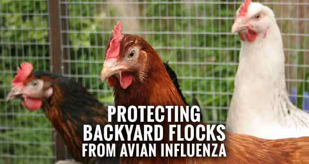UT Extension Offers Biosecurity Tips for Backyard Flocks