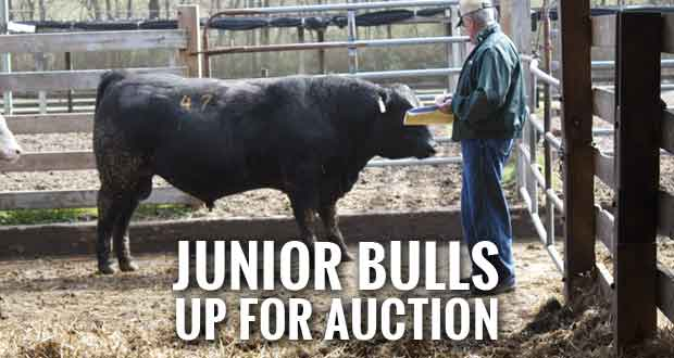 UT Junior Bulls Now Ready for the Farm
