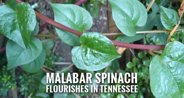 Add Malabar Spinach to Your Garden for Summer Greens