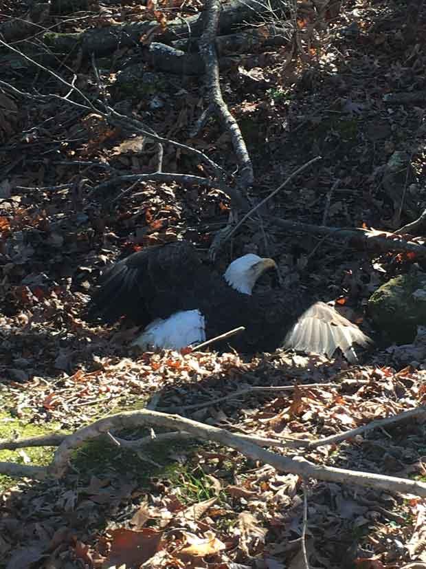Bald Eagle shot in Meigs County