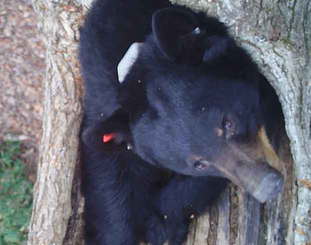 Radio Collar on Black Bear