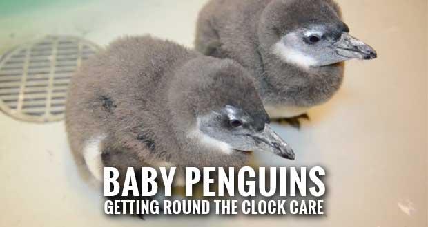 Ripley's Aquarium Celebrates Birth of Baby Penguins on World Penguin Day